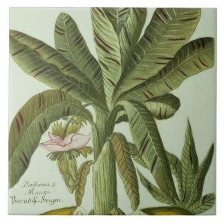 Banana, from J. Weinmann's Phytanthoza Iconographi Large Square Tile
