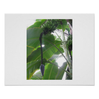 Banana Tree with Flower Bud at Longwood Gardens Poster