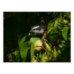 Bananaquit Bird Eating Tropical Nature Photography Poster
