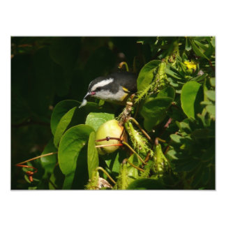 Bananaquit Bird Photo Print