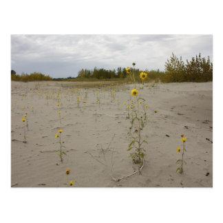 Banco de arena y flores de Missouri Tarjetas Postales