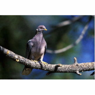 Band-tailed Pigeon Photo Sculpture