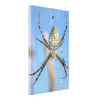 Banded Argiope Orb Weaver - Argiope trifasciata Canvas Print