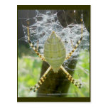 Banded Argiope Spider Dorsal View Postcard
