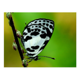 Banded Blue Pierrot Butterfly Postcard
