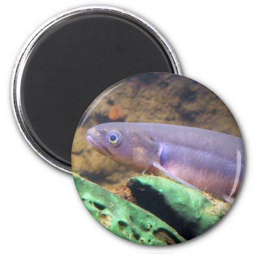 Banded Kokopu 2 Inch Round Magnet
