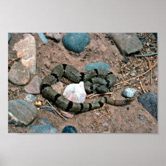 Banded Rock Rattlesnake Poster