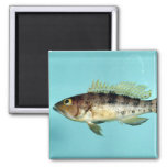 Bank Sea Bass Refrigerator Magnets