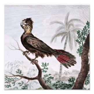 Banksian Cockatoo Bird Drawing