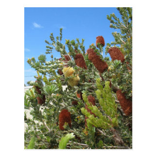 Banksias Post Cards