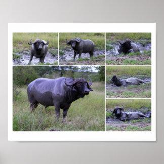 Baño de fango del búfalo del cabo 10 por el poster