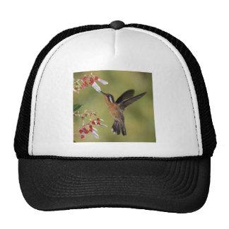 Banquete del colibrí gorro de camionero