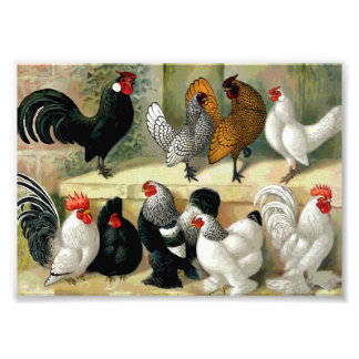 """Bantams"" Vintage Illustration Photo Print"