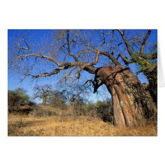 Baobab (Adansonia Digitata), Kruger National Card