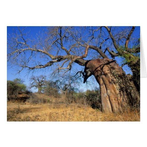 Baobab (Adansonia Digitata), Kruger National Greeting Cards