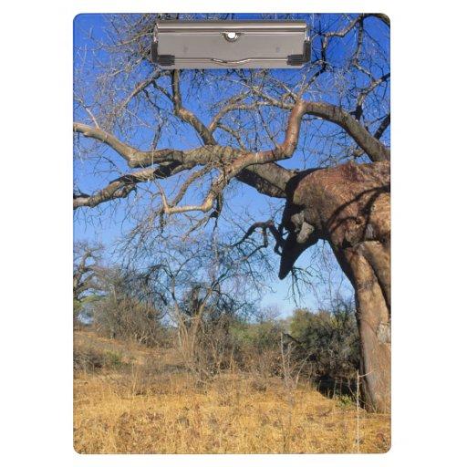 Baobab (Adansonia Digitata), Kruger National Clipboard