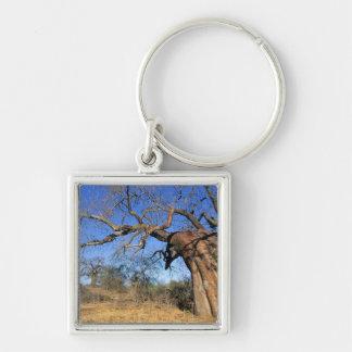 Baobab (Adansonia Digitata), Kruger National Keychain
