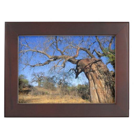 Baobab (Adansonia Digitata), Kruger National Memory Boxes