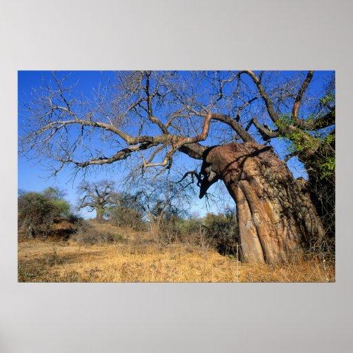 Baobab (Adansonia Digitata), Kruger National Poster