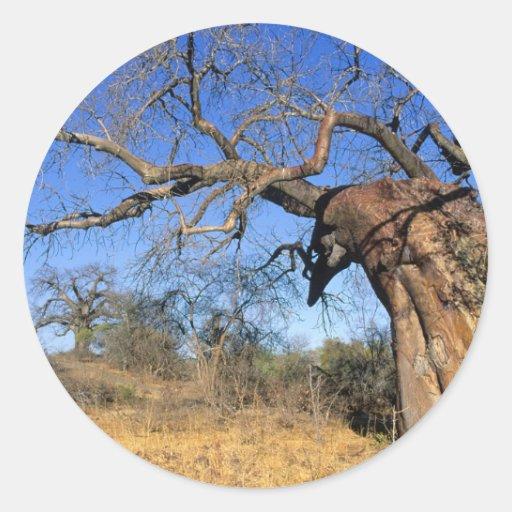 Baobab (Adansonia Digitata), Kruger National Round Sticker