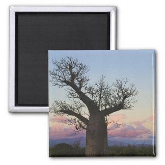 Baobab trees, Berenty, Toliara, Madagascar 2 Inch Square Magnet