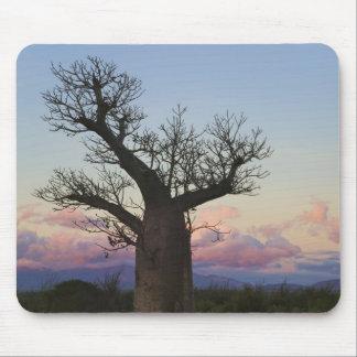 Baobab trees, Berenty, Toliara, Madagascar Mouse Pad