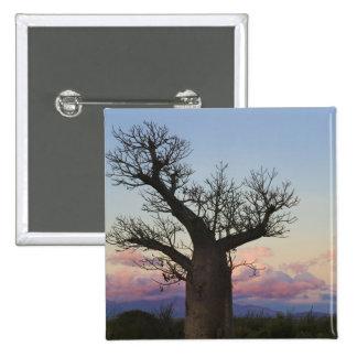 Baobab trees, Berenty, Toliara, Madagascar Pinback Button