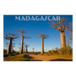 Baobab trees of Madagascar Posters