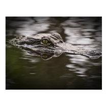 Barataria Alligator Postcard