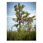 cypress, tree, barataria, spanish, moss, nature,