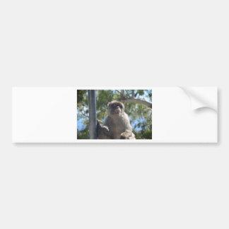Barbary Ape Bumper Sticker