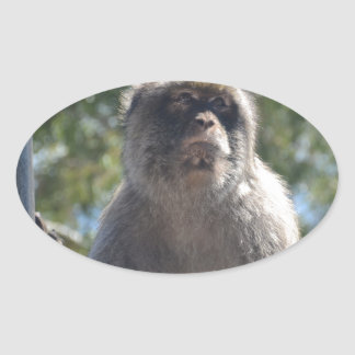 Barbary Ape Oval Sticker