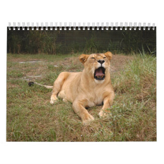 Barbary Lion-nap-001 Calendar