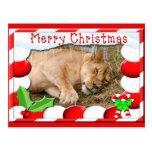 Barbary Lion-Nap-c-150 copy Postcards