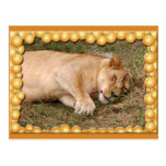 Barbary Lion-Nap-c-1 copy Post Cards