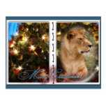 Barbary Lion-Nap-c-54 copy Post Cards