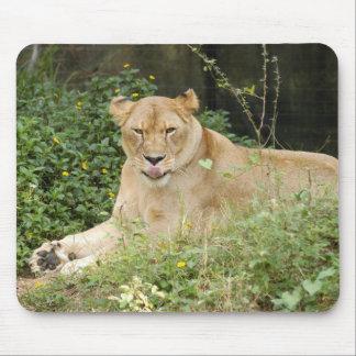 Barbary Lion-set-1-005 Mouse Pad