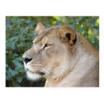 Barbary Lion-set-1-008 Postcard