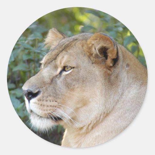 Barbary Lion-set-1-008 Round Sticker