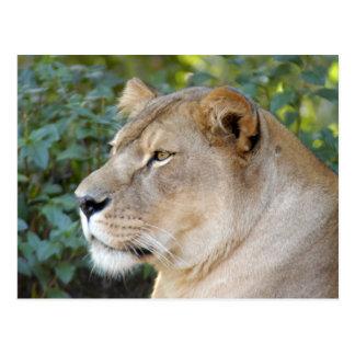 Barbary Lion-set-1-008 Tarjeta Postal