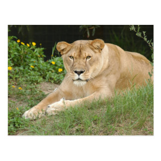 Barbary Lion-set-1-015 Postal
