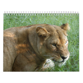 Barbary Lion-set-1 Calendar