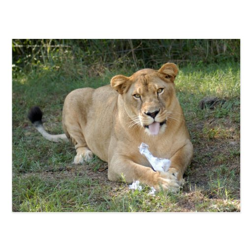 Barbary Lion-toy-008 Postales
