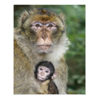 Barbary Macaque . Adulte with babyMacaca Poster