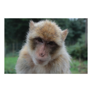 Barbary macaque ape portrait poster