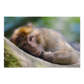 Barbary macaque lying poster