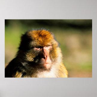 Barbary Macaque (Macaca Sylvanus) Portrait Poster