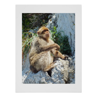 Barbary macaque monkey poster