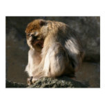 Barbary Macaque Post Card