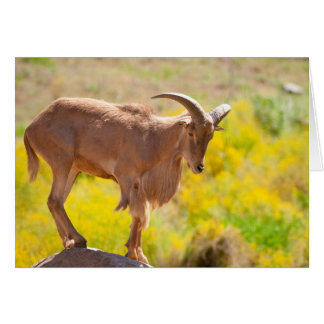 Barbary sheep card
